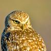 Grumpy Old Owl in the Morning Sunlight