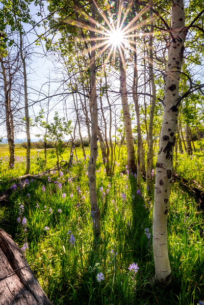 Camas Lilies cover the ground in an Aspen grove with sun star