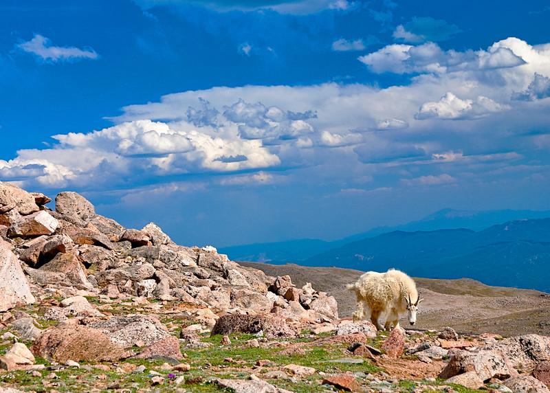 Mt. Evns Colorado Mountain Goat