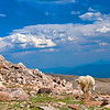 Mt. Evns Colorado Mountain Goat