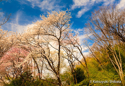 Cherry Blossoms and blue sky Kodomo no Kuni, Kanagawa Prefecture, Japan March 2013
