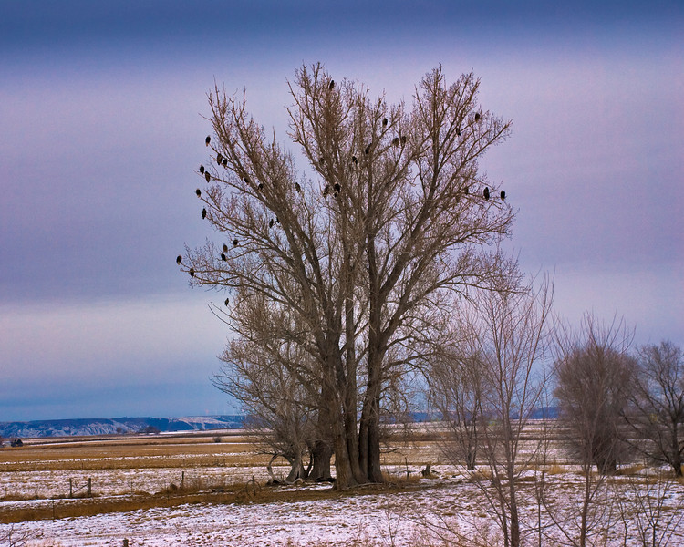 Bald Eagles in a tree Hagerman Valley Idaho