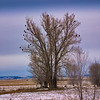 Bald Eagles in a tree Hagerman Valley Idaho