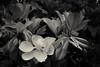 White flower green leaves Black and White Infrared