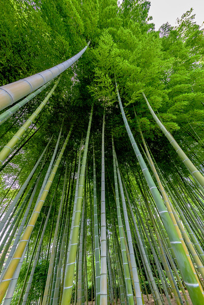 Unique view of a Bamboo forest with tree tops