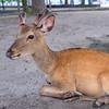 Deer on the island of Miyajima in Japan