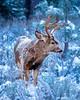 Winter Buck feeding in the forest