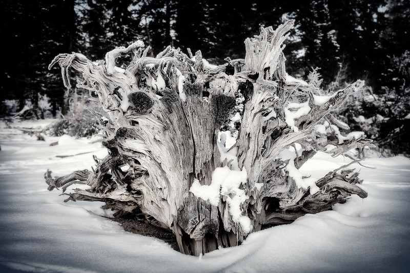Tree stump on winter against dark forest