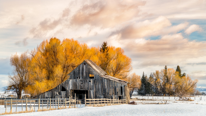 Old dilapidated barn in Roseberry Idaho with yellow willow in winter
