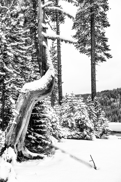 Twisted tree and small Christmas pine trees with winter snow