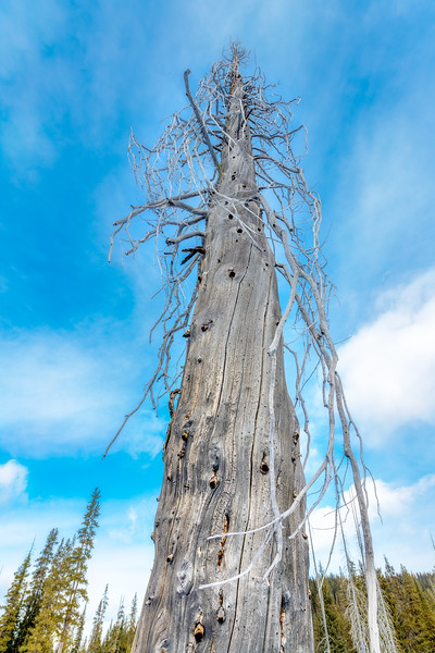 Old Snag stands above the forest and into the blue sky