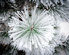 Hoar Frost grows on White Pine needles