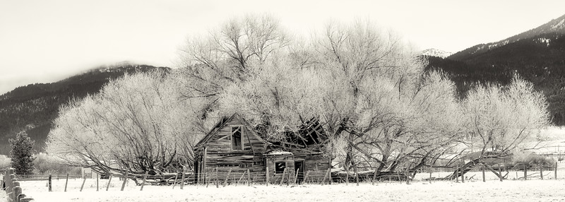 Frost covered tree looms of a crumbling homestead
