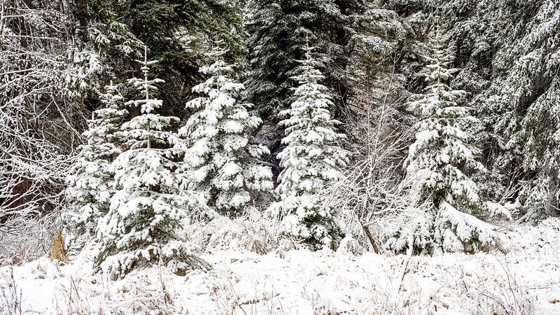 Prefect Christmas trees in nature with snow