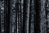 Close up of trees in a cedar forest