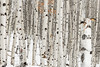 Fishhook stand of Aspen trees in winter