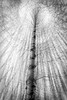 Aspen tree forest abstract around