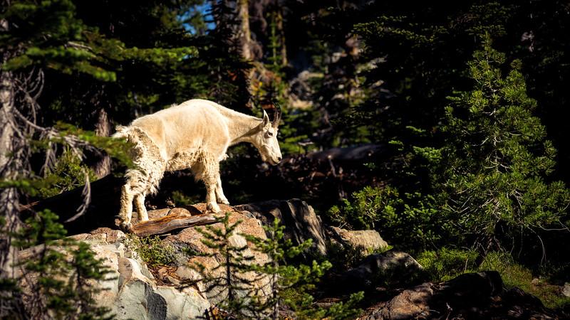 Mountain goat climbs over rocks