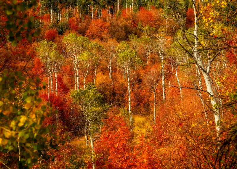 Fall colored Aspens in Swam Valley