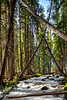 Powerful creek roars through leaning trees in a forest