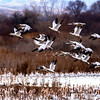 Many Snow Geese take flight from a pond