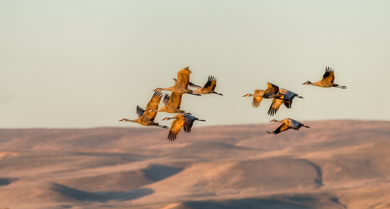 Cranes fly over the deserts of Southern Idaho during migration