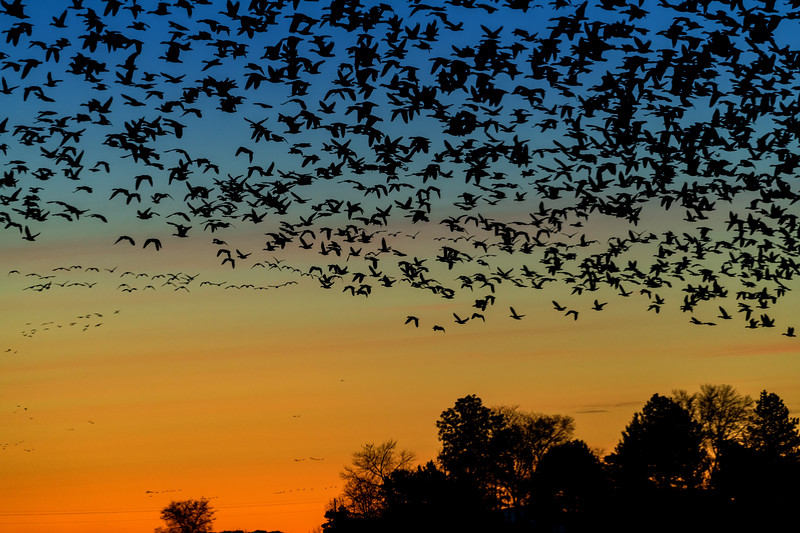 AGainst the colors of morning in the sky many Snow Geese take flight