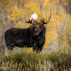 Bull Moose in the Teton Valley in the fall