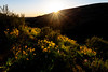 Set creates a sunburst as it slips below the horizon above a field of wildflowers