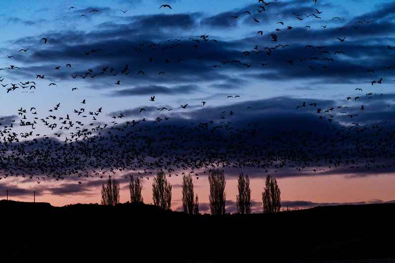 Flocks of Snow Geese fly over farmers and fields