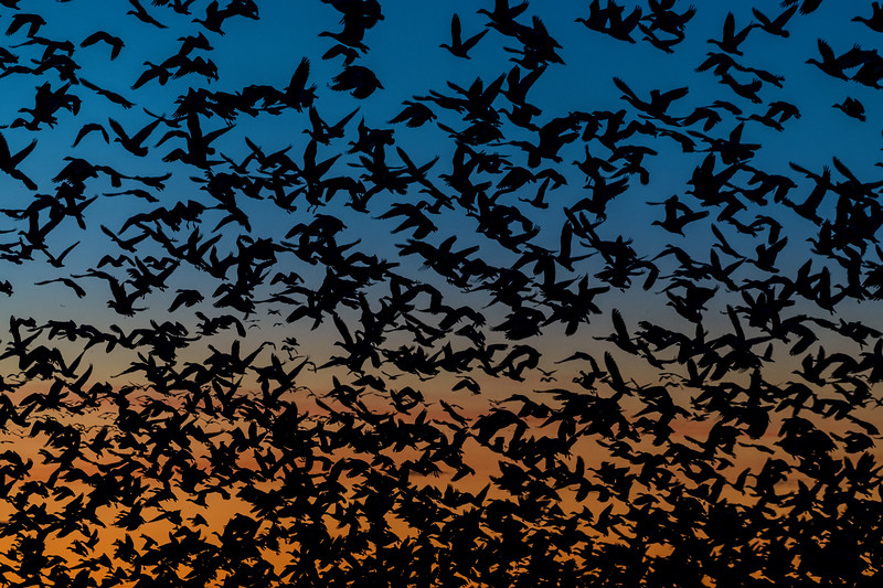 Snow geese take flight in the twilight of morning