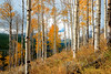 Autumn grove of Aspens in the wild Sawtooth Mountains of Idaho