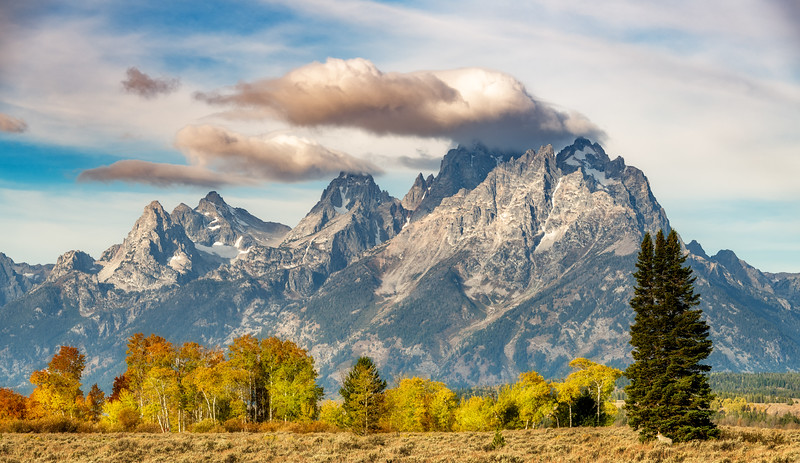 Aspen grove in fall colors with Tetons backdrop and Coyote