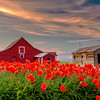Red Barn and Orange Poppies on an Idaho farm