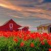 Red Barn and orange poppies on an Idaho farm