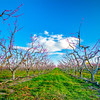 Row of Peach trees in bloom in southern Idaho