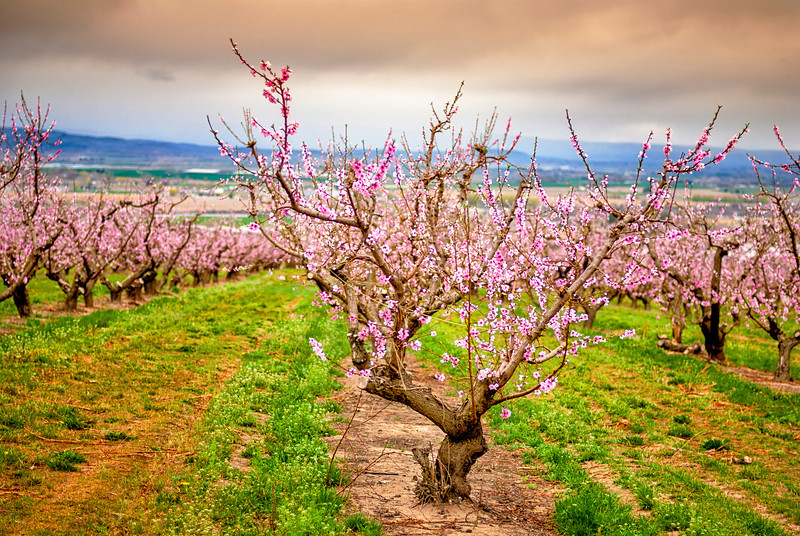 Single foreground blooming fruit tree
