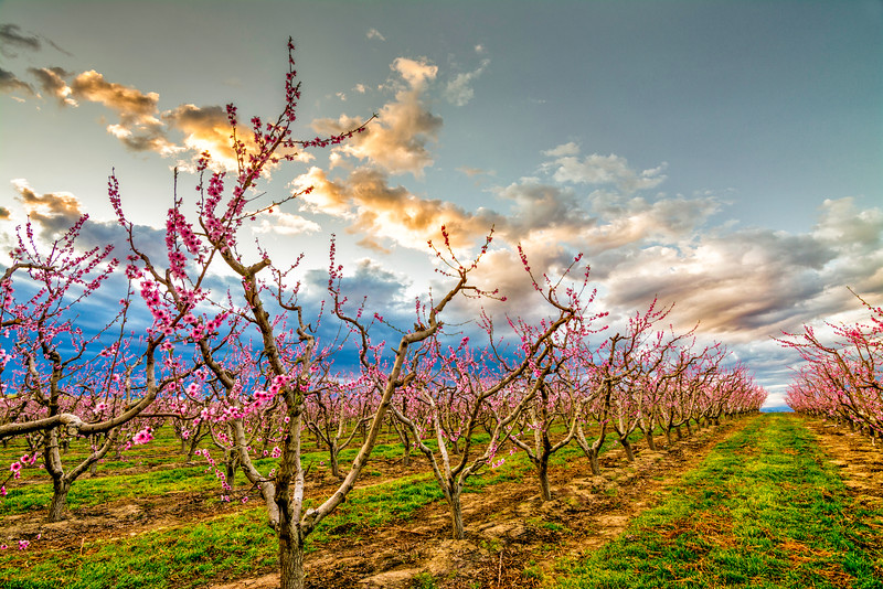 Williamson Orchard spring blooms