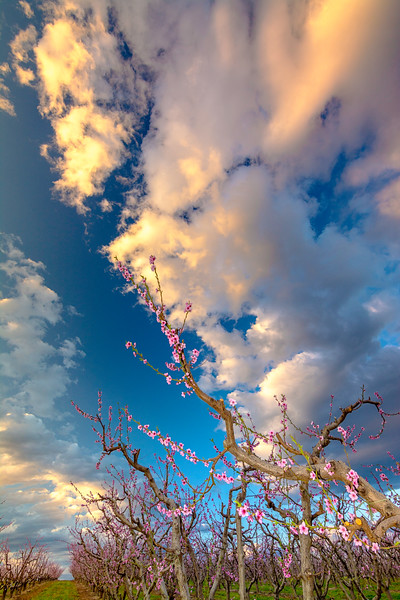 Morning clouds over an Idaho fruit orchard