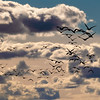 Close up flock of geese flying into the sunset