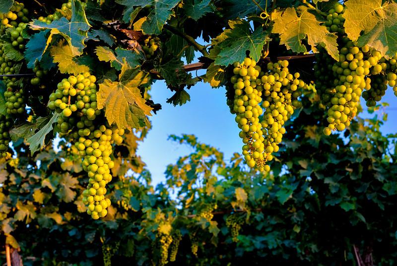 Fresh ripe grapes on the vine on Idaho farm