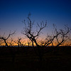 Sunrise on an Idaho orchard with fruit tree silhouette