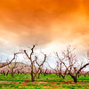 Orange sky over orchard near St. Chapel Winery