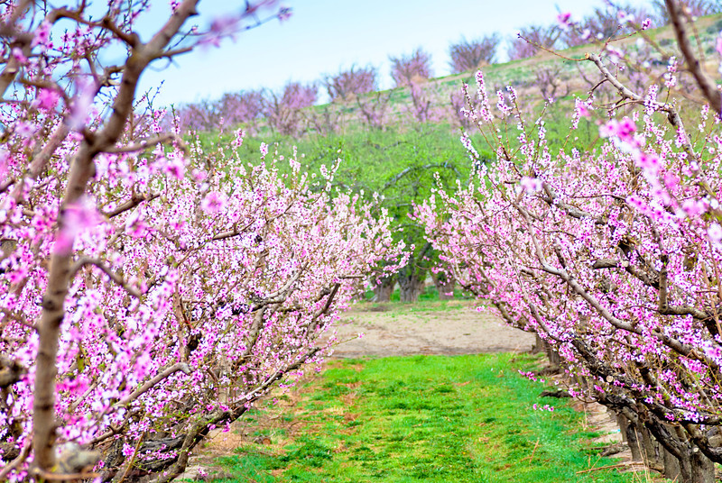 Row of blooming cherry trees in an orchard
