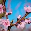 Close up of a Peach bloom on fruit tree
