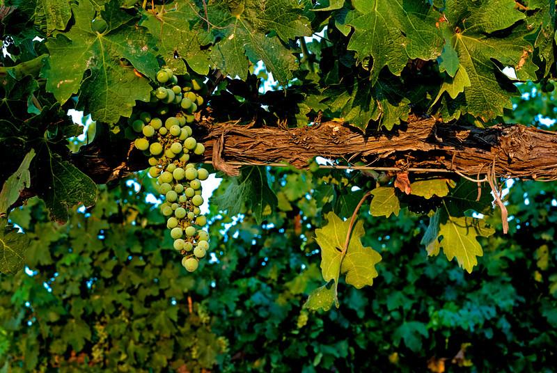 Wine grapes on a winery farm near Caldwell Idaho