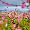 Blooming spring trees in an Idaho Orchard