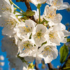 Cherry blooms in the spring time with blue sky