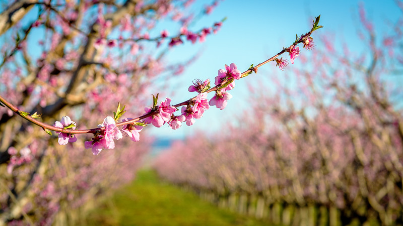 Idaho Orchard Peach blooms on a branch