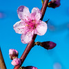 Peach tree bloom in spring
